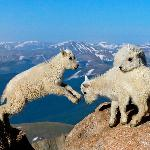 Mountain goat kids jumping with rocky mountain background