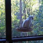 Cockatiels at breakfast