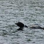 Loon on Great East Lake (at Lake Forest Resort)