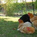 Adorable chickens in the garden