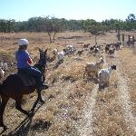 On the goat muster