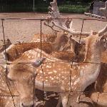 Deer at Deer Forest