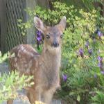 Lost fawn at our doorstep.