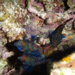Mandarin Fish captured on the night dive with Mike