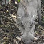 close up warthog in the camp