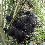 African-mountain-gorilla