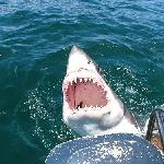 Great White Shark - Shark Cage Diving