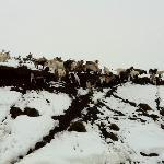 cabras en camino a icalma