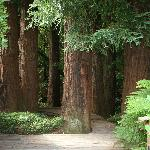 Mill Valley redwoods!