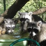 family of racoons stoping by for a drink