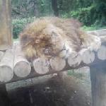 ライオンのオス。よく寝てます。
