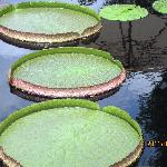 AMAZON LILY PADS AT LONGWOOD