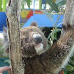 Have your photo taken with a koala