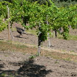 Who would have thought we'd see wild turkeys in Napa Valley