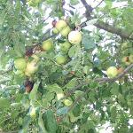 apple tree in front on our studio-sweet apples