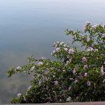 A wild rose bush below the deck.