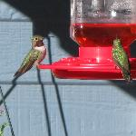 Broad-tailed Hummers