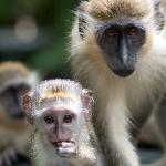 Green Monkeys (Mother & Son)