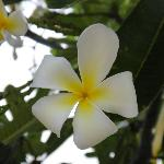 beautiful plumeria flowers on the resort