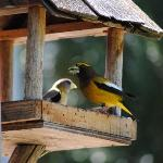 A plethora of birds visit the many feeders