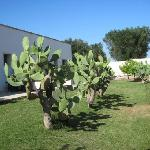 Prickly pears outside our room