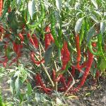 CHILLI FARM ON THE WAY