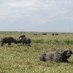 Bufallo in the Reserve