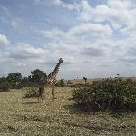 One of many giraffe sightings
