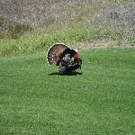 male turkey at The Ranch
