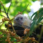 Capuchin in trees above the bungalow