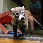 Visit from a coati