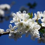 Our cherry tree - cherry blossom in spring