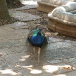 House Pheasant