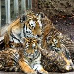 Baby tiger cubs. Photo is from fall 2010.