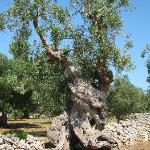 eeuwenoude olijfbomen