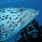 With a friendly potato cod on dive trip organised through Abyss
