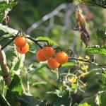 Lovely tomatos in their garden