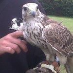 The beautiful Harris Hawk