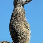 Meerkat keeping look out in the Walled Garden
