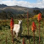 Lama in front of the Hacienda