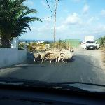 Be prepared for sheep on the road
