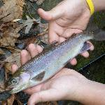 Creek Trout