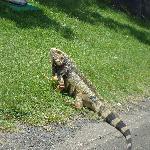 iguana on golf course