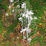 Indian Pipe grows along the path