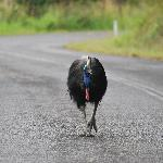 See the Cassowary