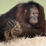 Joly in the orang-utan nursery