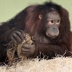 Joly in the orang-utan nursery