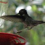 Black-chinned hummingbird, taken from the porch