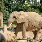 gentle giant - an elephant at the Basel Zoo