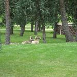 Big horn sheep on the grounds